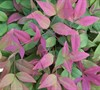Blush Pink Nandina Picture