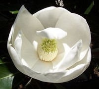 Bracken Brown Beauty Magnolia Picture
