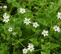 Common Chickweed Picture