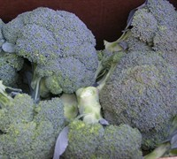 Calabrese Broccoli Picture