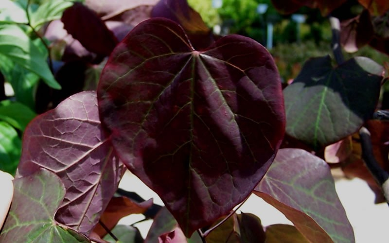 Forest Pansy Redbud Picture