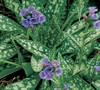 Pulmonaria