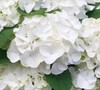White Out Forever And Ever Hydrangea