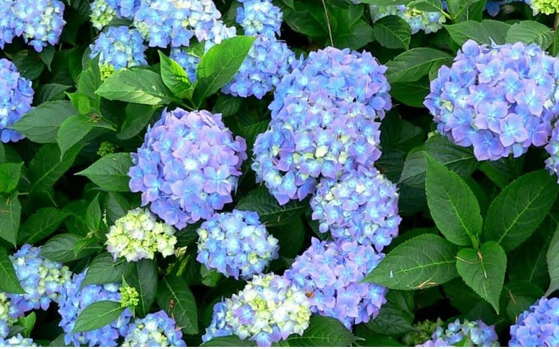 forever and ever hydrangea picture gardenality