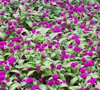 Buddy Purple Gomphrena Picture
