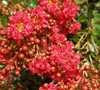 Razzle Dazzle Cherry Crape Myrtle