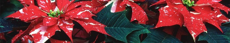 How To Take Care Of A Poinsettia Plant