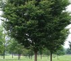 Green Vase Zelkova Tree