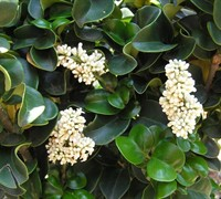 Curly Leaf Privet Picture