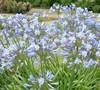 Blue Storm Agapanthus