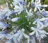Queen Mum Agapanthus Picture