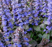 Bronze Beauty Ajuga Picture