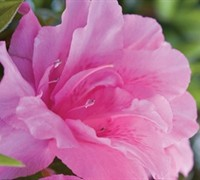 Autumn Carnation Encore Azalea Picture