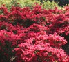 Autumn Cheer Encore Azalea
