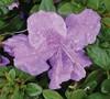 Autumn Lilac Encore Azalea
