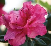 Autumn Rouge Encore Azalea Picture