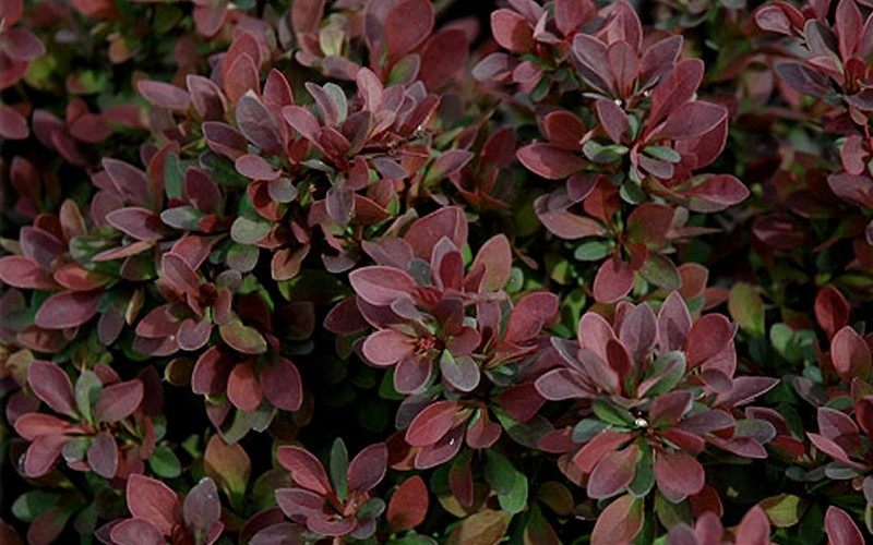 Royal Burgundy Barberry Picture