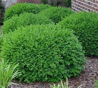 Green Velvet Boxwood Picture