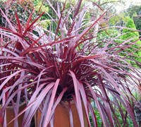 Burgundy Cordyline Picture