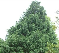 Irish Mint Leyland Cypress Picture