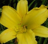 Happy Returns Daylilly Picture