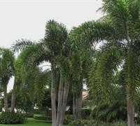 Foxtail Palm (Wodyetia Bifurcate) Picture