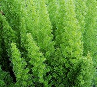 Foxtail Fern Picture