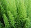 Foxtail Fern