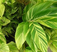 Variegated Shell Ginger Picture