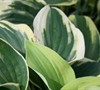 Wide Brim Hosta Lily