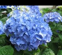 Glory Blue Hydrangea Picture