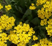 Basket Of Gold Alyssum Picture