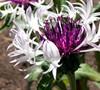 Centaurea Montana 'Amethyst In Snow'