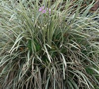 Aztec Grass Picture