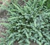 Silver Mist Juniper