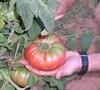 Brandywine Tomatoe