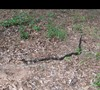 Black Rat Snake, about 3 1/2 to 4 foot long, 6/2/11