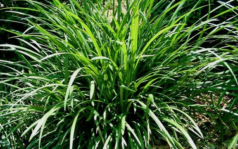 Evergreen Giant Liriope Picture