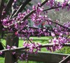 Eastern RedBud