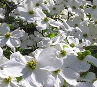 Cherokee Princess White Dogwood Picture