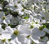 Cherokee Princess White Dogwood