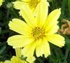 Coreopsis Grandiflora