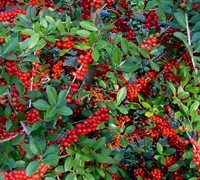 Hightower Yaupon Holly Picture
