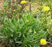 Coreopsis Grandiflora  Picture