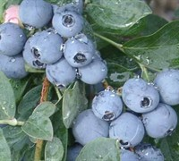 Becki Blue Blueberry Picture