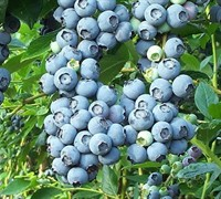 Tifblue Blueberry Picture