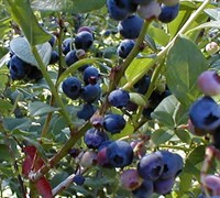 Woodard Blueberry Picture
