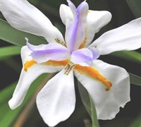 African Butterfly Iris Picture