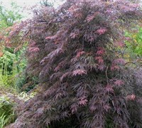 Garnet Japanese Maple Picture