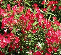 Cardinal Red Oleander Picture